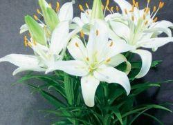 Особенности выращивания комнатной лилии и ухода за ней. Комнатная лилия и уход за ней в домашних условиях